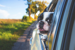 Cute dog looking out car window