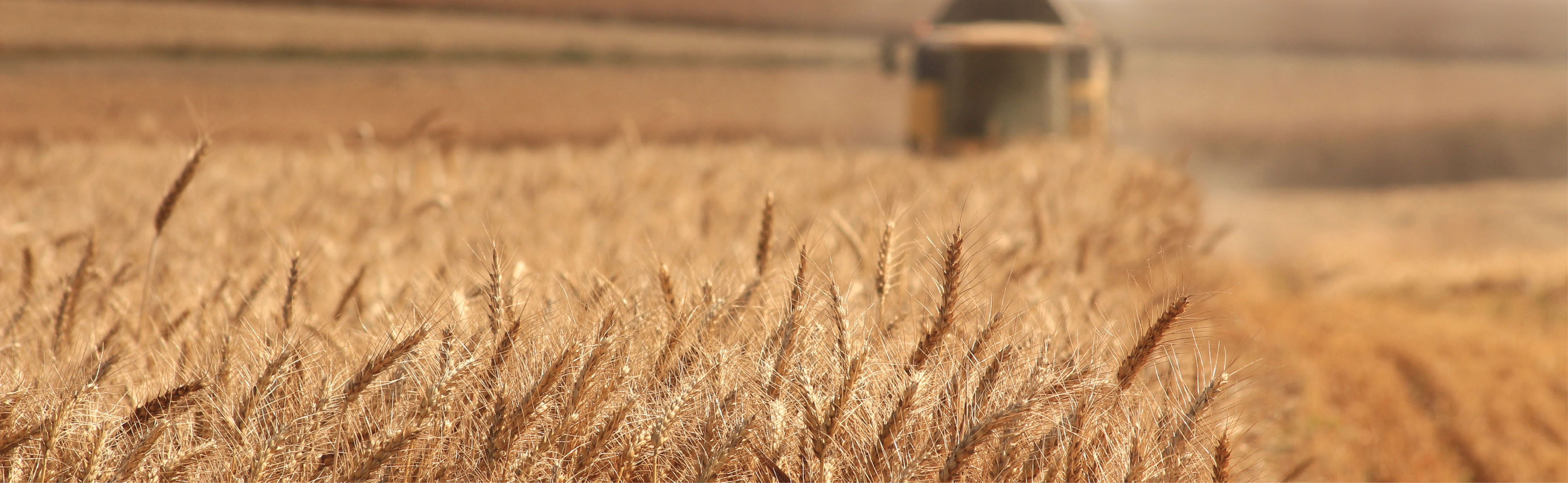 shallow depth of field of wheat field with combine in background